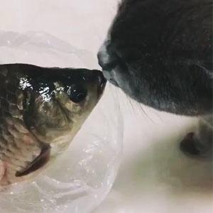 猫咪和鱼接吻视频 猫咪爱上了鱼