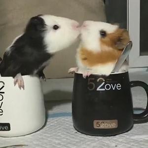 七夕荷兰猪花式秀恩爱