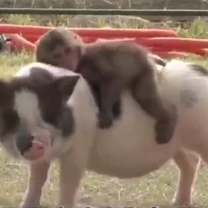 超萌的一对CP:骑在猪身上的小猴