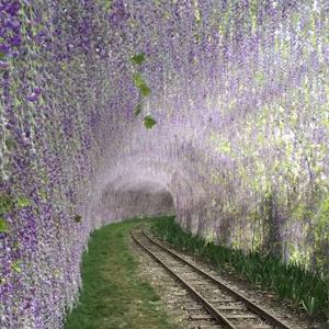 美翻了!四川德阳和海的紫藤花隧道