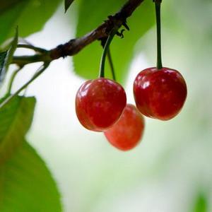 自动采收机摘果子 这样摘的果子没有灵魂