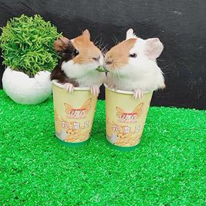 两只仓鼠抢食物,结果让人意想不到