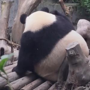 大熊猫妖娆蹭屁屁