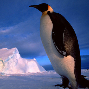 企鹅筑巢偷同伴石子 被当场发现