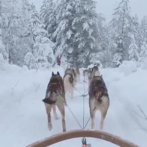 雪橇哈士奇 两只吵架八只围观
