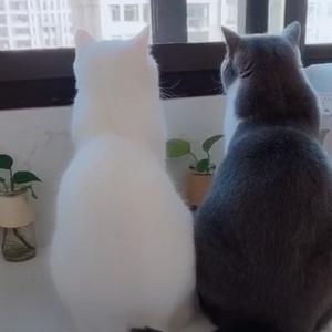 黑猫白猫小两口站窗外看景色 超恩爱