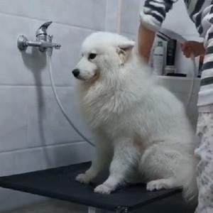 全抖音最爱洗澡的萨摩耶 狗狗洗澡视频