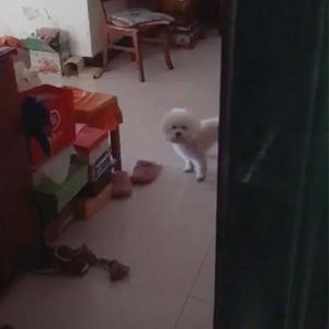 狗狗咬鞋子 狗生如戏全靠演技