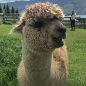 超萌羊驼草坪上吃草视频