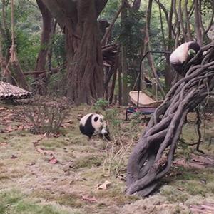 熊猫走出六亲不认的步伐