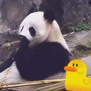 吃到一半想起正在减肥的大熊猫