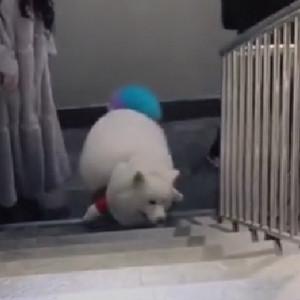 88斤胖狗狗爬楼梯走秀