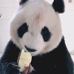 大熊猫吃竹笋嘎嘣脆视频
