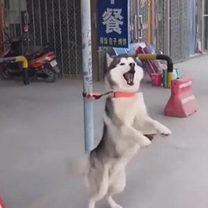 二哈用蔡萝莉的配音跳舞视频