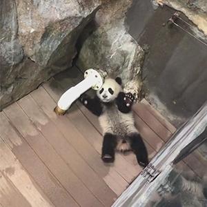 熊猫小公主卖萌翻车现场