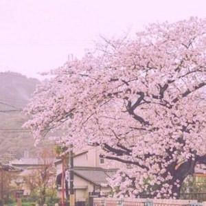 日本樱吹雪视频