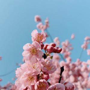 武汉东湖樱花盛开视频