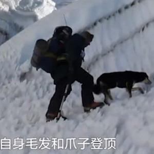 狗生巅峰!第一只征服喜马拉雅山的狗